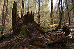 Hemlock trees in the Cataloochee Valley in western North Carolina are becoming diseased because of hte Wooly Adelgid, a non-native insect which is killing the legacy Hemlocks in the southern Appalachian Valleys . This was a several hundred-year-old tree that fell after Adelgid infestation