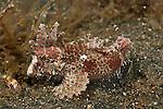 Longspine waspfish (Paracentropogon longispinus)