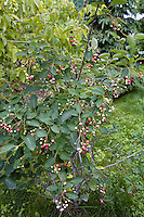 Serviceberry (Amelanchier) : Ripening berries