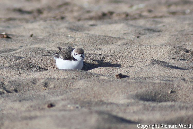 A snowy plover has just found a new spot to settle in and ruffles its feathers at Pigeon Point.