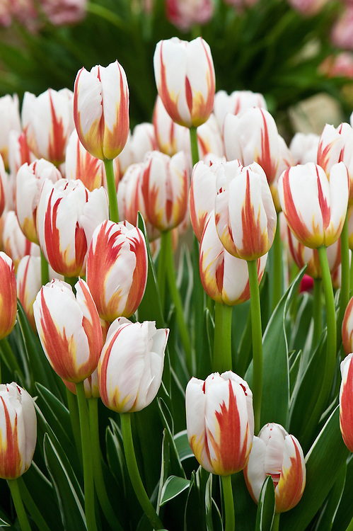 Tulip 'Happy Generation' (Triumph Group), first introduced in 1988.