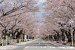 """Photo shows a street famed for having one of Japan's longest cherry blossom """"tunnels"""" in the Yonomori area of Tomioka Town, Fukushima Prefecture, Japan on Wednesday 20 April  2011. Usually lively with party-goers at this time of the year, the streets of the town, which is located just a few miles from the leaking Fukushima No. 1 nuclear power plant, are deserted..Photographer: Robert Gilhooly"""