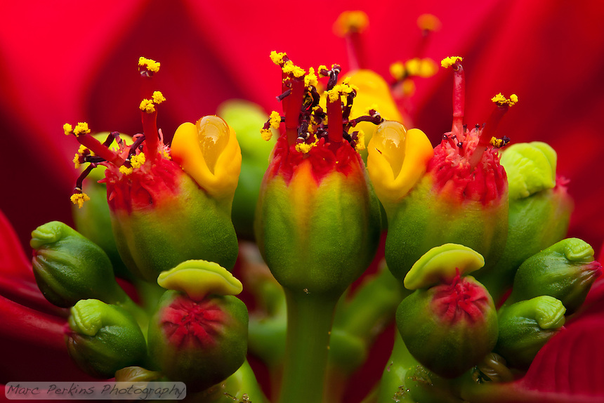 A closeup of a poinsettia flower cluster from the side.  Many people confuse the bracts (red leaves) with the actual flowers; they're quite different.   This macro shot shows multiple pseudanthia  (flowering structures) surrounded by a sea of red bracts (colored leaves associated with a flower; mostly out of focus in this picture).  The flowers themselves are called cyanthia; the green tissue surrounding each flower is an involucre, a cluster of bracts (leaves) fused into a cup-shaped structure that contains multiple male flowers and one female flower within it.  Emerging from the involucre you can see red filaments supporting yellow anthers on the male flowers, and you can even see some of the pollen grains.  Also emerging from each involucre you can see a number of dark-purple structures supported by short stalks (that are about a tenth of the height of the filaments).   The bright yellow, liquid-filled structures attached to the involucre are nectar glands filled with nectar to attract pollinators.