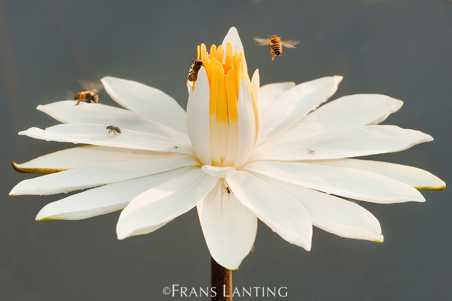 Honey bees on water lilly, Mole National Park, Ghana