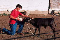 Teenager working on a farm feeds an orphan calf with a bottle.
