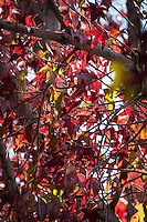 Close-up of fall colors with hints of green leaves yet to turn amid the tangle of branches.