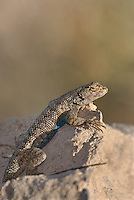 425900021 a wild great basin fence lizard sceloporus occidentalis longipes sits atop a large rock near eureka dunes california