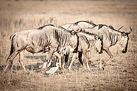 Image of a small group of migrating wildebeest walking across savanna, reminiscent of prehistoric rock paintings, Kenya, Africa  (photo by Wildlife Photographer Matt Considine)