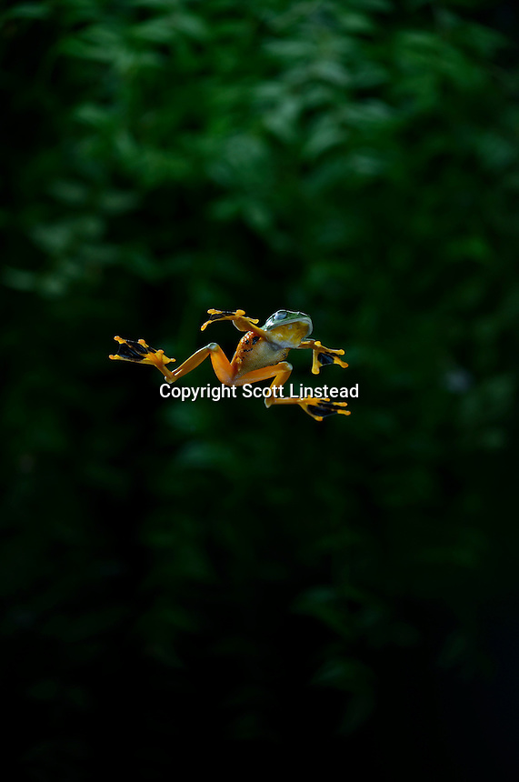 A flying frog gliding through the rainforest