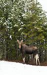 Female moose in the winter