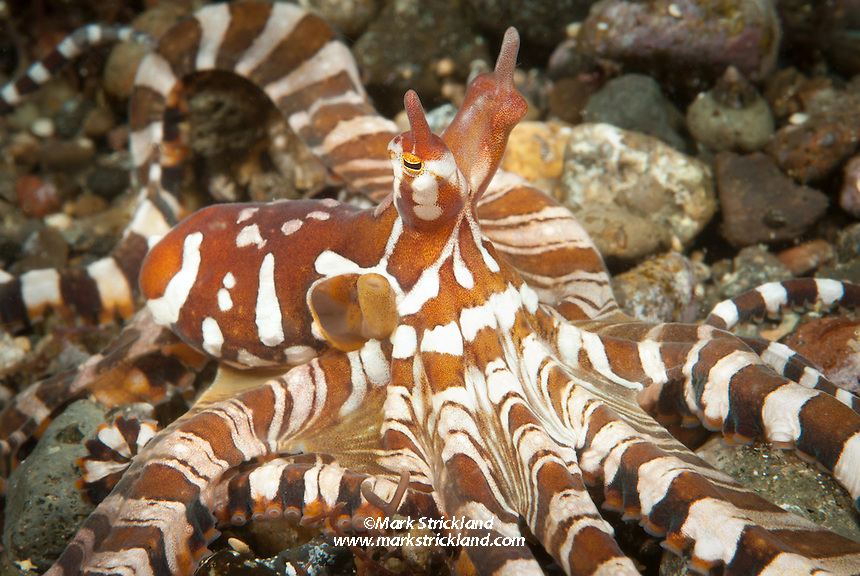 This strikingly patterned creature is a Wonderpus, octopus sp., Alor, Indonesia, Indian Ocean