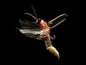 Eastern Firefly flying (Photinus pyralis), USA