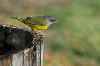 Common within its range, the Mourning Warbler is a small songbird of second-growth forests of eastern and central North America. It typically reveals its presence by its distinctive song of rolling phrases, usually remaining hidden in the low, thick vegetation.