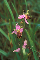 Ophrys apifera Bee Orchid, Burren Orchid, GR3977 native Ireland wildflower that resembles mimics a bee to fool pollinators