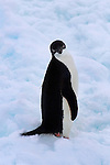 Adelie Penguin - Pygoscelis adeliae - in the Southern Ocean, Antarctica. In 1830, French explorer Dumont d'Urville named them for his wife, Ad&eacute;lie.