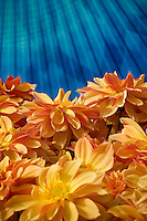 Bedding Dahlia 'Dahlinova Hypnotica Bronze' yellow, orange gold flower