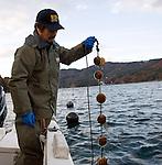 Hiromitsu Ito of Oh! Guts! pulls up a line of juvenile scallops from the bay at Ogatsu, Ishinomaki, Miyagi Prefecture, Japan on 01 Dec 2011. .Photographer: Robert Gilhooly