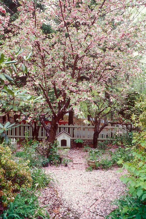 Prunus cherry trees, picket fence, dog house, yard, cherry blossoms falling and on ground, leaves appearing on trees in spring