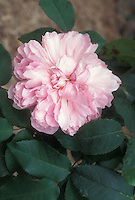 Portland Rose Marchesa Boccella aka Jacques Cartier rose, a small growing pink rose