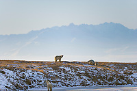 Polar bear, Barter Island, Brooks range mountains, Arctic National Wildlife Refuge, Alaska.