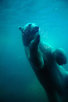 Underwater view of a swimming polar bear.