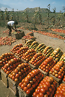Tomato harvest near Trujillo, northern Peru; ruins in background are Huaca el Obispo