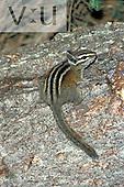 Grey-Necked Chipmunk (Tamias cinereicollis) New Mexico, USA
