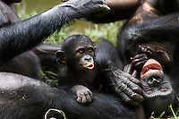 Bonobos playing (Pan paniscus), Lola Ya Bonobo Sanctuary, Democratic Republic of Congo.