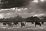 Horses on an open range with the Teton Range as a backdrop, Grand Teton National Park, Wyoming