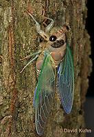 Aphid Like, Cicadas