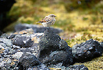 Northern wheateater juvenile, Iceland