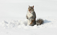 A squirrel in the snow in Charlottesville, VA. Photo/Andrew Shurtleff