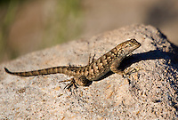 425900022 a wild great basin fence lizard sceloporus occidentalis longipes sits atop a large rock near eureka dunes california