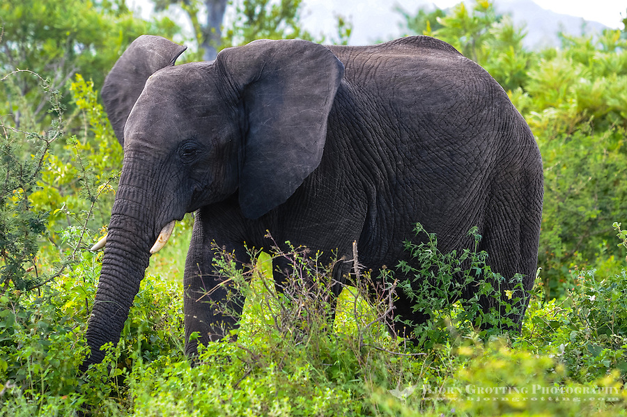 African Bush Elephant. Kruger National Park, the largest game reserve in South Africa.