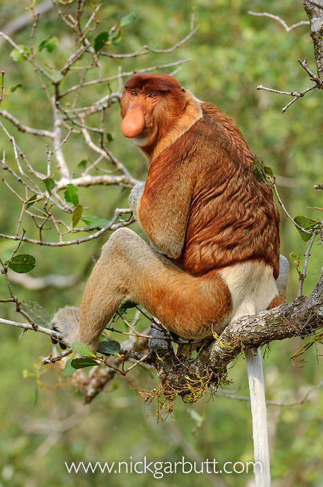 Adult male Proboscis Monkey (Nasalis larvatus) in mangrove forest. Bako National Park, Sarawak, Borneo.
