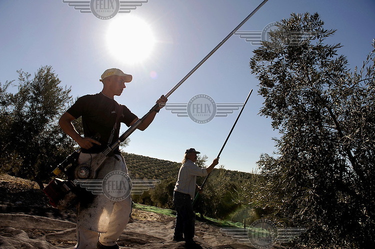 Vicente Urbano and his son (also Vicente) working in an olive farm in Cordoba. The picking season starts in November when thousands of seasonal workers arrive to work in the olive groves. This is work usually carried out by migrant workers from overseas but the collapse in Spain's economy and rocketing levels of unemployment has led to many Spaniards seeking to work as pickers, labour they had previously shunned.