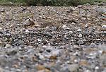 Gray wolf camouflaged amidst rocks in a riverbed, Toklat River, Denali National Park, Alaska, USA