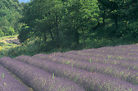 Lavender Field, Senaque, France.