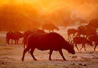 A large herd of african buffalo (syncerus caffer) is creating a large dust cloud as they walks towards the protecting bushes after their evening drink in river. <br /> Chobe National Park, Botswana. <br /> September 2007.