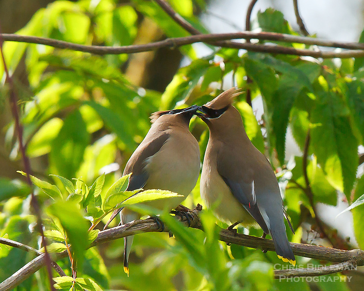 Two Cedar Waxwings sharing seed sitting on a branch in the Ridgefield National Wildlife Refuge