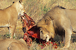 Lion & Lioness Feeding On Wilderbeast