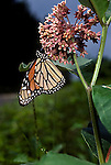 Monarch butterfly Danaus plexippus adult feeding on milkweed