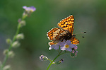 Duke of Burgundy Fritillary Butterfly, on flower, Hamearis lucina, wings open, underneath, low angle, soft colours.United Kingdom....