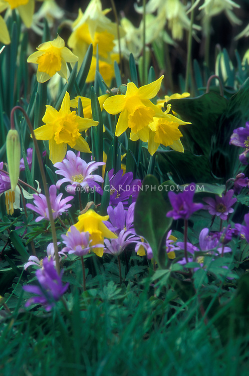 Daffodils and Anemone blands Windflower | Plant & Flower Stock ...