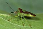 Hawthorn Shield Bug, Acanthosoma haemorrhoidale, on leaf, macro, green