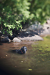 Black labrador retriever swimming in Copperas Pond in New York's Adirondack Park