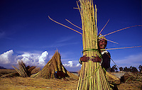 Man gathers totora-reeds for boat construction. Lake Titicaca, Bolivia.