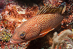 Gardens of the Queen, Cuba; an orange spotted Red Hind fish resting on the coral reef