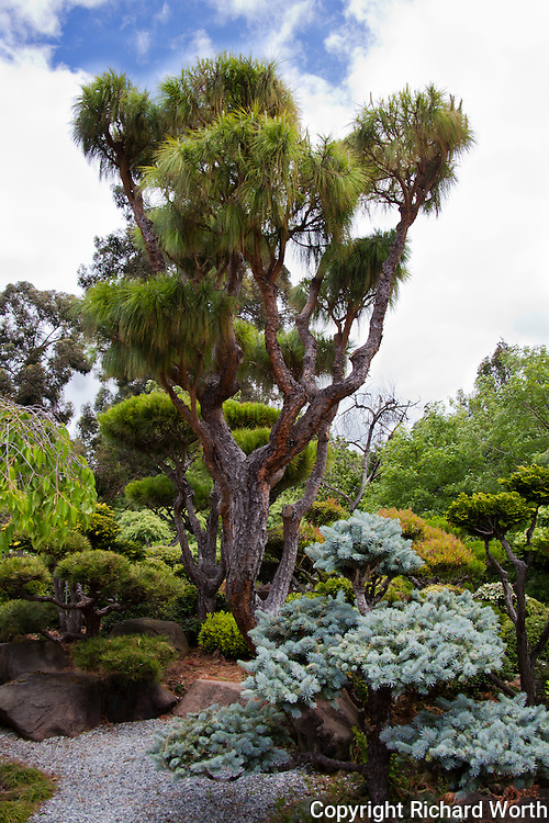 Trees of all shapes and sizes welcome visitors to the Japanese Gardens in Hayward, California.