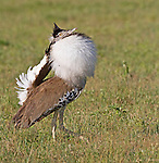 Kori Bustard, Ardeotis kori,  courtship display